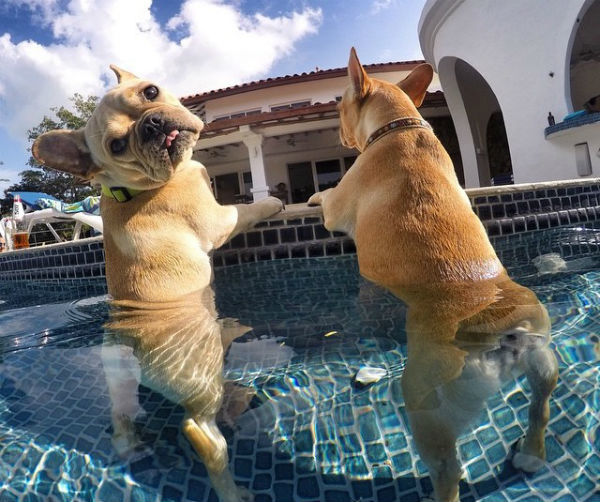 Two frenchies in a pool