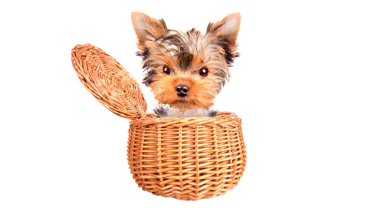 20 Eye Opening Facts About Teacup Yorkies Pop Listicle